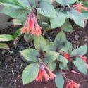 Bahçemden Arap küpesi çiçeği