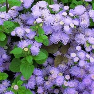 Ageratum houstonianum, vapur dumanı çiçeği