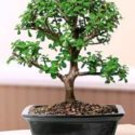 Portulacaria afra, fil azığı bonsai