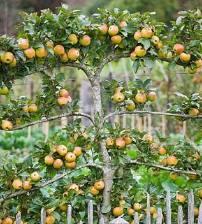 Elma ağacına espalyer