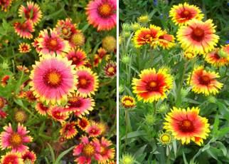 Gayret çiçeği türleri
