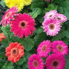 Gerbera çiçekleri