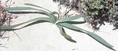Kum zambağının yaprakları