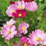 Kozmos çiçeği