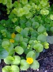 Sarıkız çiçeği