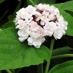 Arap fulü (Clerodendrum chinense)
