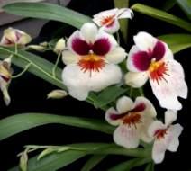 Hercai orkide