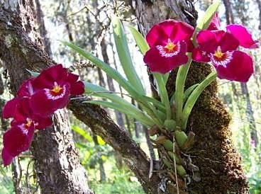 Ağaçta bir hercai orkide