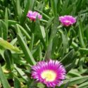 Carpobrotus acinaciformis, makas çiçeği