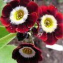 Garden auriculas çeşitlerinden biri