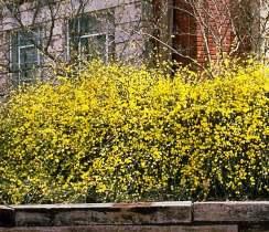 Sarı çiçekli çalı yasemin, kış yasemini