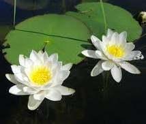Nilüfer çiçeği ve yaprakları