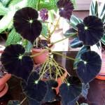 Siyah begonya, Begonia boweri