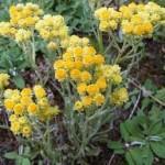 altın otu (Helichrysum arenarium)