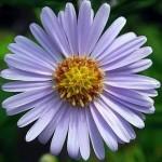 Bir aster çiçeğinin içindeki minik gerçek çiçekler.