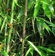 Fargesia robusta türü bambunun dalları ve yaprakları