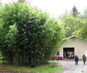 Büyük bambu, Phyllostachys nidularia