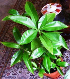 Tradescantia zanonia, aynalı telgraf çiçeği
