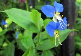 Yabani telgraf çiçeği