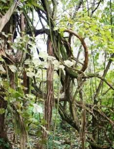 Liana tarzı sarmaşık bitkiler