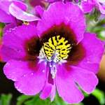 Fakir orkidesi, kelebek çiçeği