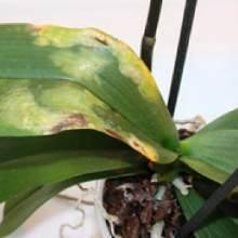 Hasta orkide