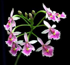 Epidendrum calanthum
