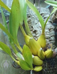 Orkidelerde yalancısoğan, pseudobulb