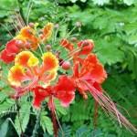 Tavuskuşu çiçeği (Caesalpinia pulcherrima)