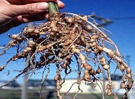Netamot, yuvarlak solucan köklere etkisi