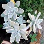 Graptopetalum paraguayense