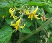 Domatesin çiçekleri
