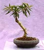 Ficus kök çeliği