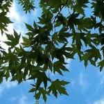Çınar ağacının dalları ve yaprakları