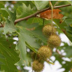 Çınar tohumları yüzlercesi toplu halde, kozalak benzeri, küçük bir ceviz kadar, yuvarlak bir yapıda oluşturur.