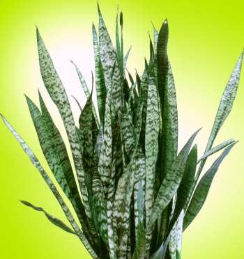 Kökten sürgünlerle çoğalmış bitki