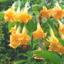 Sarı ve katmerli melekler borusu çiçekleri