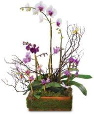 Hediyelik orkideler
