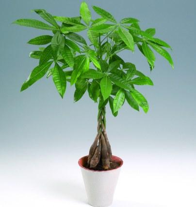 Para ağacı (Pachira aquatica) yetiştirilmesi, bakımı, çoğaltılması