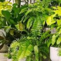 Yazın açık havaya çıkarılan salon bitkileri