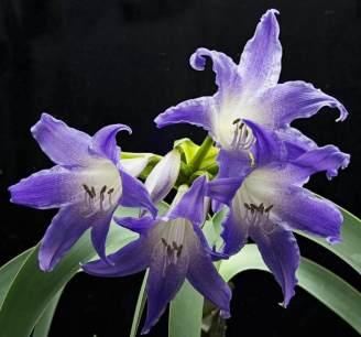 Mavi amarillisin çiçekleri