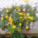 Sarı çalı papatyası (ağaç papatyası)