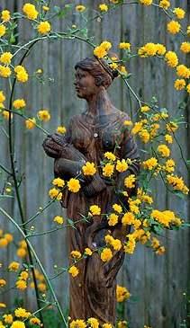 Kanarya gülünün çiçekli dalları