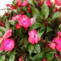 Yeni Gine çiçeği