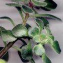 Aichryson laxum yapraklı bir dalı