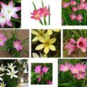 Meltem çiçekleri