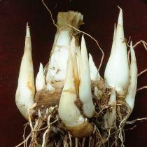 Sümbülteber soğanları
