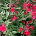 Salvia microphylla, ateş nanesi