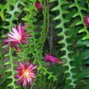 Balık kılçığı kaktüsü ve çiçekleri