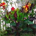 Bitkilerde farklı çeşitlerin aynı bir bitki üzerinde tek bitki olarak yaşaması.. böyle bir bitkiye kimera denir.